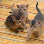 3 Abyssinian kittens