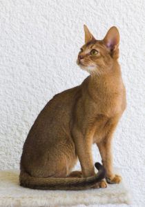 Abyssinian cat, seated