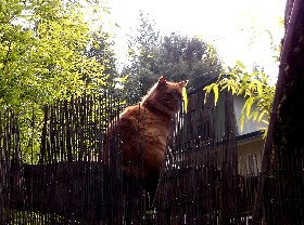 Orange cat on fence