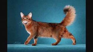 Somali cat, long-hair; plumy tail