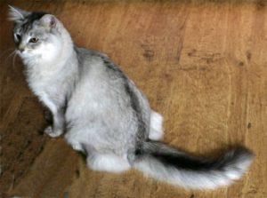 Silver Somali cat