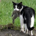 black & white cat carrying animal