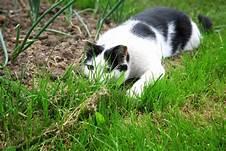white & black cat stalking critter