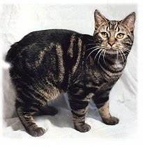 tailless manx cat with dark stripes
