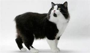 tuxedo cat, manx