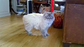 white manx cat