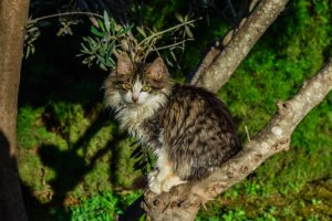 striped cat, white chest, in tree