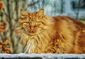 Orange long-haired cat, hunkered