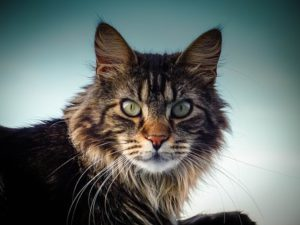 Head, shoulders of long-haired tabby