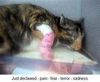 cat with bandaged paws after declawing