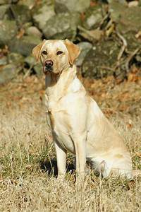 Yellow dog, sitting at attention