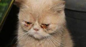 Tan cat head & shoulders, eyes gummy