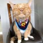 Orange cat on chair, looking satisfied