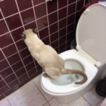 Siamese cat using toilet