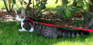 Dark spotted cat on red leash