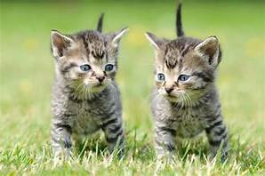 Two grey/black striped kittens