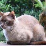 Blue Burmese cat, hunkered