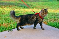 Dark tiger longhaired cat, red leash & harness