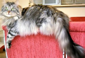 long-haired silver cat on back of chair