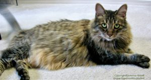 long-haired grey striped cat reclining