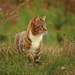 Tabby cat, white chest, walking in tall grass