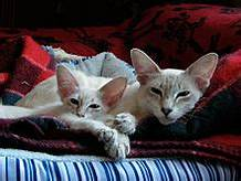Javanese cat and kitten