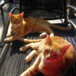 Two orange cats