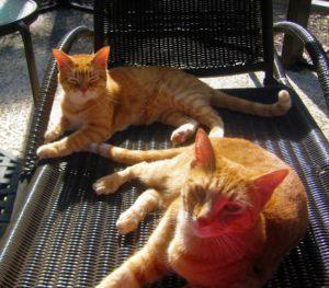 Two orange cats