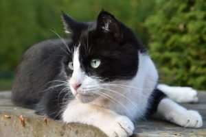 Black and white cat, lying down