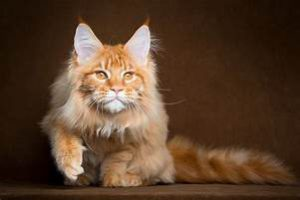 Orange Maine Coon, reclining
