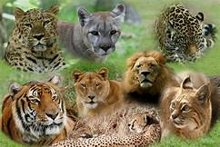 Pics of 7 large wild cats