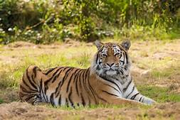 Tiger, lying down