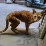 thin stray orange cat