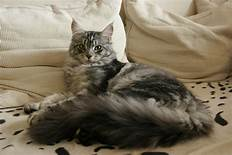 Grey long-haired Maine Coon Cat