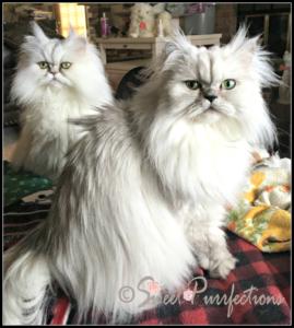 Silver Persian sisters