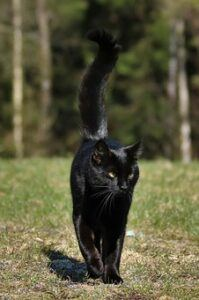 black cat, walking