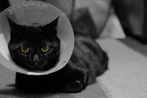 black cat wearing cone