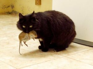 black cat carrying mouse