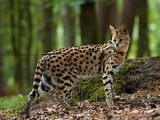savannah cat standing in forest