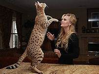savannah cat on hind legs next to person