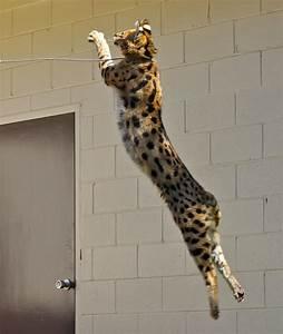 savannah cat jumping
