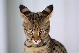 savannah cat showing large ears