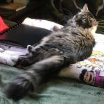 tiger-striped grey Maine coon cat