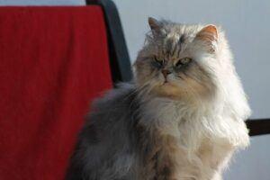 angora cat, sitting