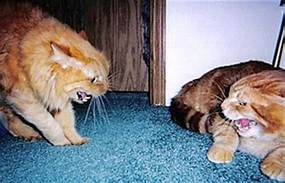 Orange; tabby cat in confrontation
