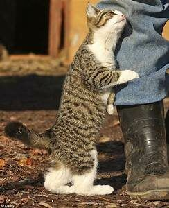Tabby cat standing, rubbing person's let