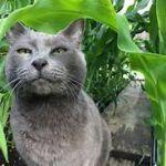 grey cat in cornfield