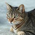 tiger cat, sitting
