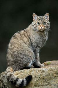 Seated African Wildcat, grey & black