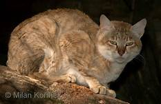 Red African Wildcat, hunched on branch